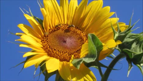 Sunflower-With-Bees-1
