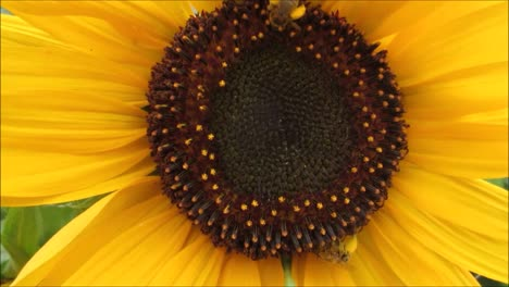 Sunflower-With-Bees-2