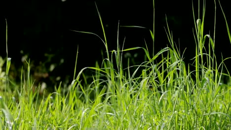 High-Grass-Blowing-In-Wind