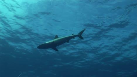Grey-Reef-Shark-