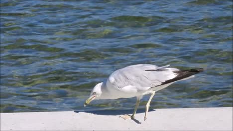 Gull-Eating-by-Lake