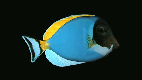 Blue-Tang-Fish-Production-Element
