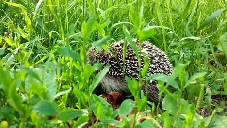 Hedgehog-02