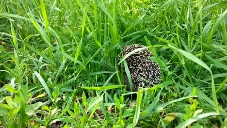 Hedgehog-03