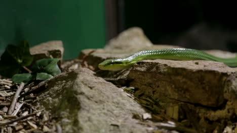 Green-Snake-Slithering-
