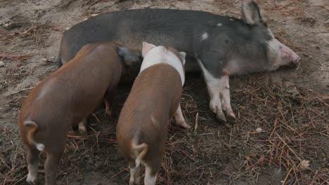 Piglets-Feeding