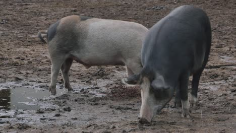 Pigs-Grazing
