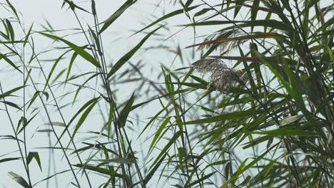Water-Reeds-1