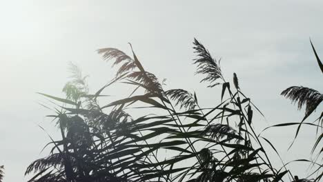 Water-Reeds-2