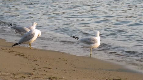 Seagulls-on-Beach