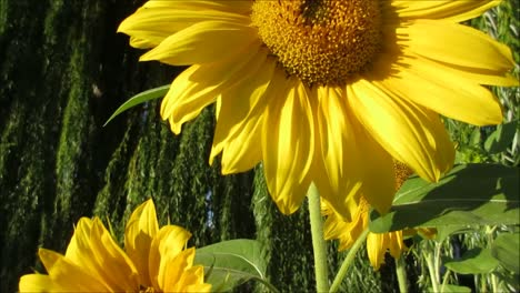 Sunflowers-and-Bees