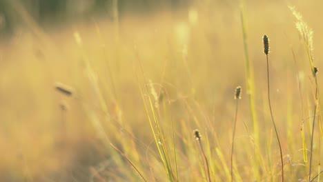 Wild-Grass-