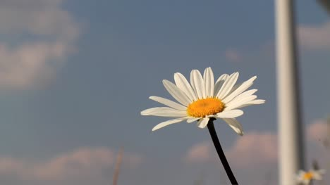 Daisy-with-Wind-Turbine