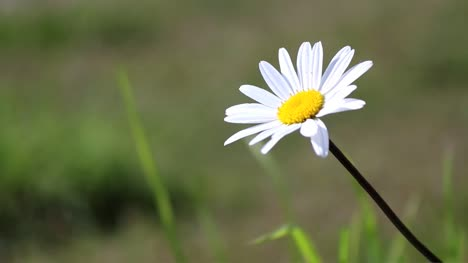 Daisy-in-Meadow