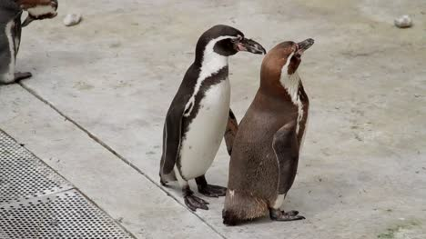 Penguins-Squabbling-