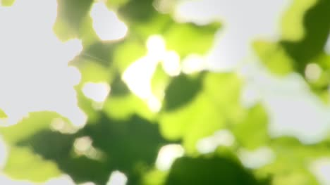 Green-Leaves-Bokeh-with-Lens-Flare