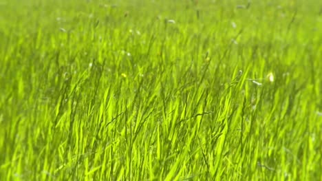 Green-Grass-in-Meadow