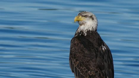 Bald-Eagle-by-the-Water-