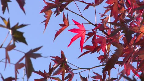 Bright-Red-Autumn-Leaves