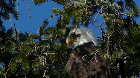 Eagle-Watching-Behind-Branches-
