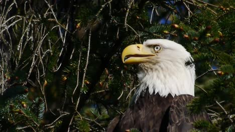 Eagle-In-a-Tree-