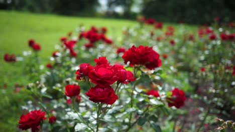 Red-Roses-on-a-Sunny-Day