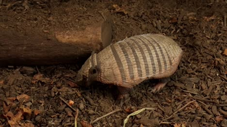 Armadillo-Scratching-Around-