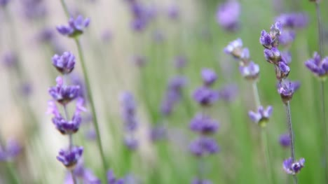 Lavender-CC-BY-NatureClip-