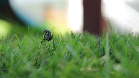 Beetle-in-Grass