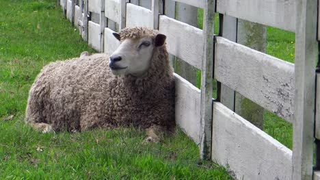 Chewing-Sheep-Against-Farm-Fence