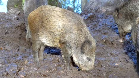 Boars-Digging-in-Mud