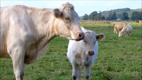 Mother-Cow-With-Calf