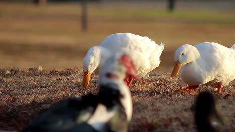 3-White-Campbell-Ducks-Searching-(Sequence)