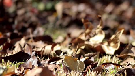 Autumn-Leaves-on-Ground-(Rack-Focus)