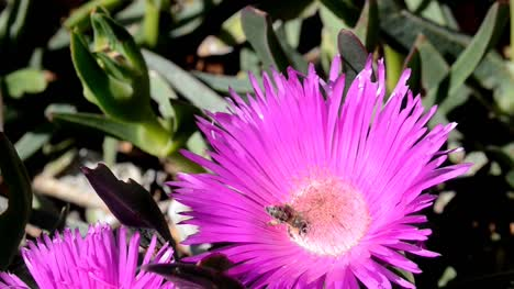 Bee-in-Pink-flower