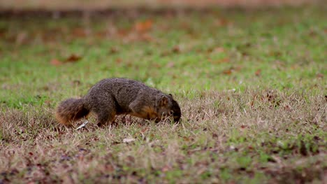 Squirrel-Explores-and-Eats-(Wide)