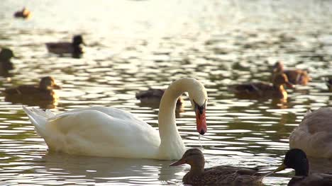 White-Swan-in-Super-Slow-Motion