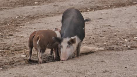 Pig-with-Young