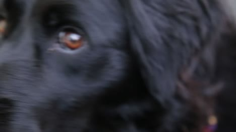 Collie-Close-Up-1