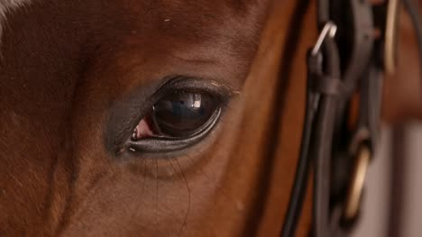 Racehorse-Eye-Closeup-