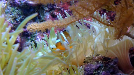 Clownfish-in-Anemone-2