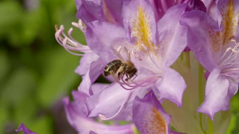 Bee-on-Flower-4