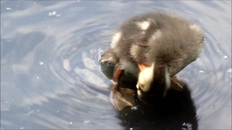 Duckling-Cleaning