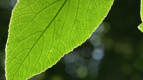 Backlit-Leaf