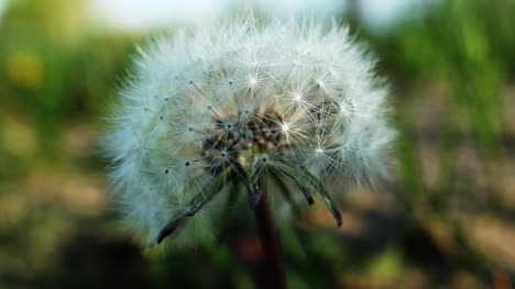 Dandelion-in-the-Wind