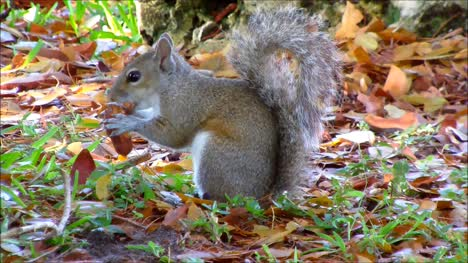 Grey-Squirrel-Eating