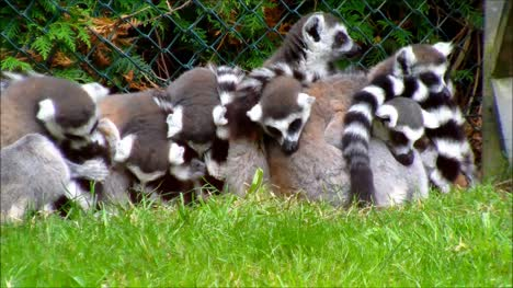 Group-of-Ring-Tailed-Lemurs
