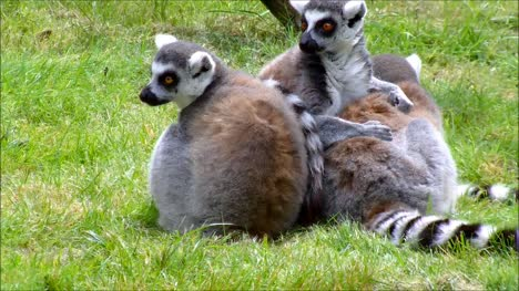 Ring-Tailed-Lemurs-Cleaning