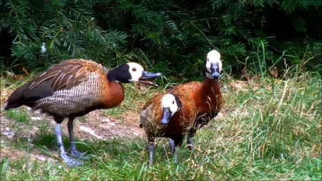 White-Faced-Whistling-Ducks-2