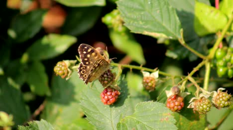 Butterfly-and-Blackberries